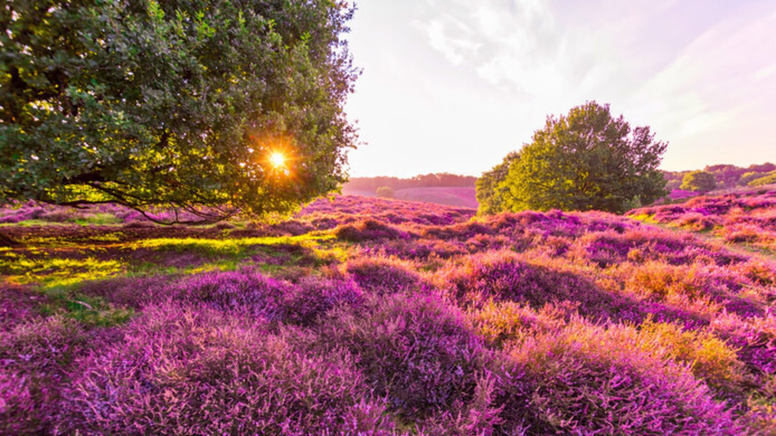 The purple carpet of blooming heather, experience weeks
